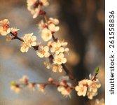 white apricot tree flowers....   Shutterstock . vector #261558836