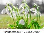 First Spring Flowers Backlit...