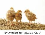 Three Chicks On Hay