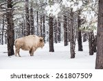 White Buffalo in Forest. Northern Arizona States. USA. - stock photo