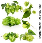 set of green hops isolated on... | Shutterstock . vector #261902780