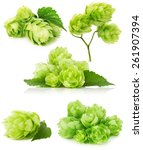 set of green hops isolated on... | Shutterstock . vector #261907394