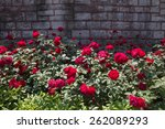 Stock photo roses in full bloom in a rose garden 262089293