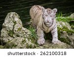 Small photo of The white tiger (Chinchilla albinistic) is a pigmentation variant of the Bengal tiger. The reason for their white colour is that they have a deficiency in melanin or pheomelanin pigment