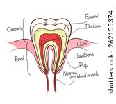 tooth cut anatomy layout...   Shutterstock .eps vector #262155374