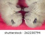 Two Adorable Newborn Siamese...