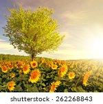 sunflower field with tree in... | Shutterstock . vector #262268843
