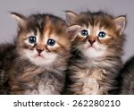 Stock photo cautious cute siberian kittens over grey background focus on the kitten on the right 262280210