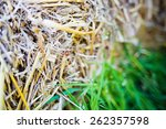 ladybug sitting on straw | Shutterstock . vector #262357598