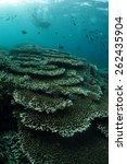 Small photo of Table corals - Acropora cytherea at Sipadan island Malaysia.