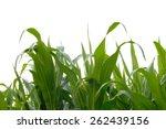 Corn Fields On White Background