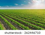 soybean field ripening at... | Shutterstock . vector #262446710