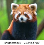Red Panda Bear Close Up