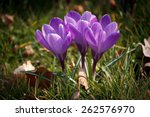 Purple Crocus Flower In A...
