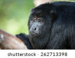 Small photo of A Black Howler monkey (Alouatta pigra) is found in the jungle canopy of Belize. Black howlers, found in Mexico, Guatemala, and Belize, are folivorous, eating mostly leaves and occasional fruits.