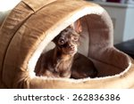 Stock photo regardant eyes of small brown toy terrier dog in pet house indoors 262836386