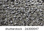Snow Geese Abstract Thousands...