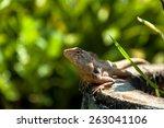 iguana | Shutterstock . vector #263041106