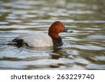 Common Pochard  Pochard  Aythy...