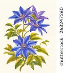 Watercolor Painting Of Clematis ...