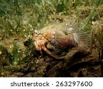 Red Sea Anemone Carrier Hermit...