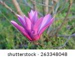 pink tulip tree blossom  ... | Shutterstock . vector #263348048
