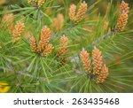 long leaf southern pine...