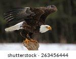 A Bald Eagle  Haliaeetus...