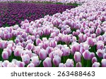 colorful tulips  tulips in...   Shutterstock . vector #263488463
