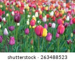 colorful tulips  tulips in...   Shutterstock . vector #263488523