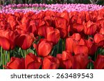 colorful tulips  tulips in...   Shutterstock . vector #263489543