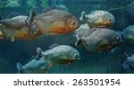 Red Bellied Piranha ...