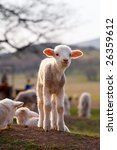 cute white lambs on field in... | Shutterstock . vector #26359612
