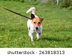 Stock photo jack russell dog walking on lead in park 263818313