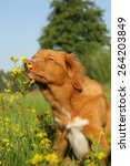 dog is sniffing at a flower in... | Shutterstock . vector #264203849