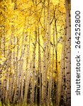 Yellow Aspen Trees Fall