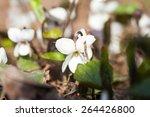 viola odorata   plant with... | Shutterstock . vector #264426800