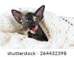 Stock photo beautiful of oriental kitten licks lips 264432398