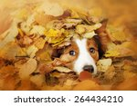 Stock photo young red border collie dog playing with leaves in autumn 264434210