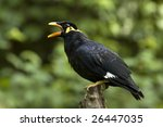 Portrait Of A Hill Mynah ...