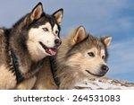 A Pair Of Huskies On Mountain...