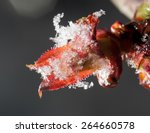 Red Leaf In The Snow In The...