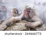jigokudani snow monkey bathing...   Shutterstock . vector #264666773