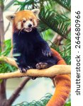 Red Panda Sitting On A Branch...