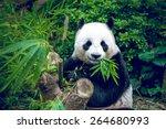 Hungry Giant Panda Bear Eating...