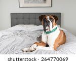 fawn colored pure breed boxer... | Shutterstock . vector #264770069