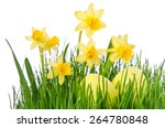 yellow narcissus flowers with... | Shutterstock . vector #264780848