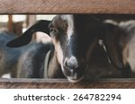 Adorable Goat In The Wooden...