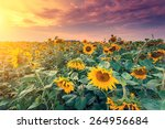 Majestic View Of Sunflower...