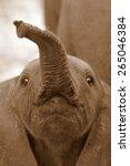 Cute Baby Elephant Calf In Thi...